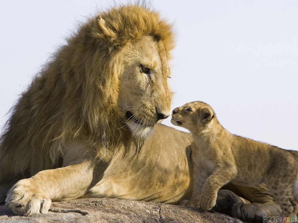 lion_and_cub_1280x960